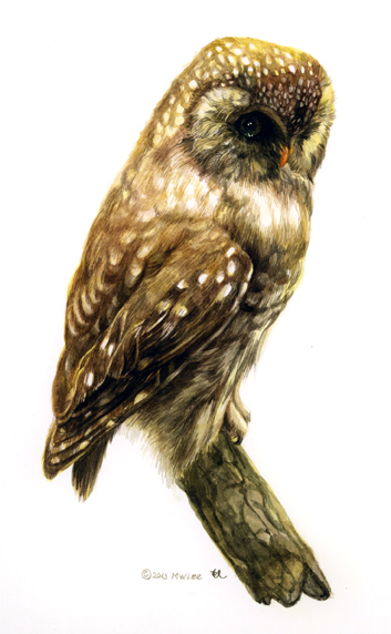 """Boreal Owl, watercolor on paper, 10""""x8"""""""