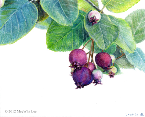 """Juneberry, wc on paper, 7.5""""x10"""""""