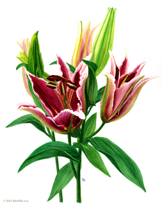 """Lily buds, wc on paper, 10""""x 8"""""""