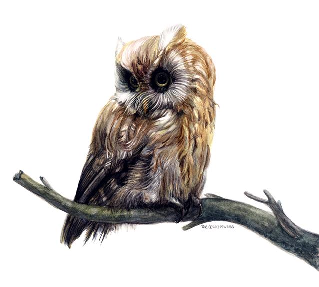 "Screech Owl, watercolor on paper, 10""x10"""
