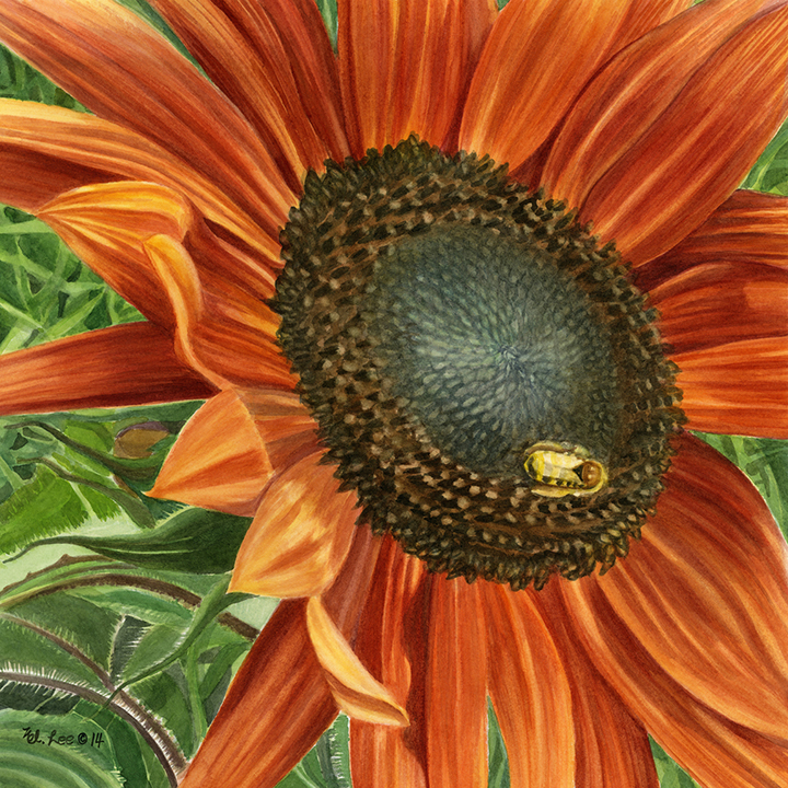 """Red Sunflower, wc on paper, 18""""x18"""""""