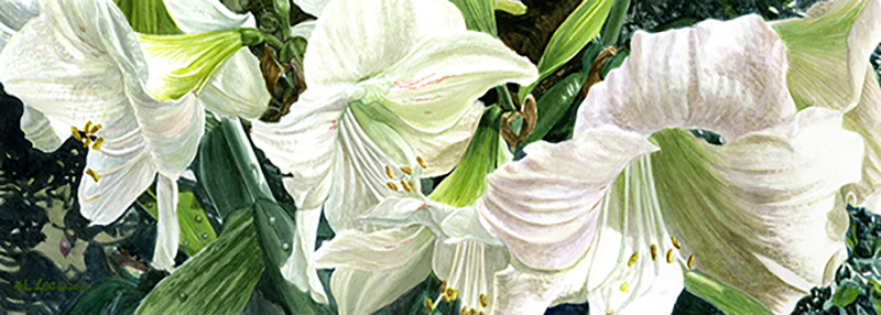 """White-lily, watercolor on paper, 7""""x19"""""""