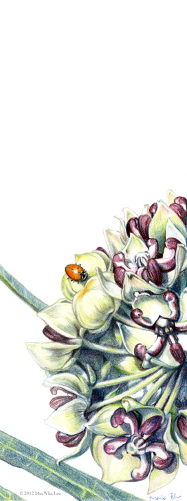 """Green Milkweed, color pencil on paper, 7""""x4.5"""""""